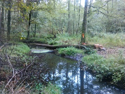 Bever in de bosbeek