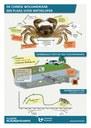 Infografiek wolhandkrabben