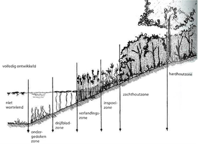 Volledig ontwikkeld oeverprofiel met alle gradaties van nat tot quasi droog (Ecologisch groenbeheer in de praktijk, IPC Groen Ruimte, 2001.)