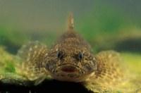 De rivierdonderpad